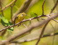 Prairie warbler perched on a branch the setophaga discolor is migrant in cuba coming north america Royalty Free Stock Image