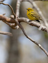 Prairie warbler setophaga discolor sitting on a branch Stock Image