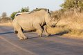 Prancing rhino in kruger np south africa Stock Image