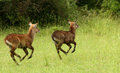 Prancing waterbuck a pair of juviniles prance along a grassy meadow in uganda Stock Photos