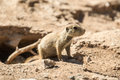 Prarie dog pup a young emerges watchfully from its underbround burrow Royalty Free Stock Photography