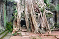 Prasat ta prohm big tree over stone building at Stock Photography