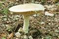 Prataiolo Fungus, Agaricus Campestris