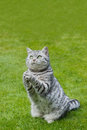 Praying cat on green grass british short hair black silver tabby spotted Royalty Free Stock Photography