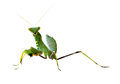 A Praying Mantis Stock Photos