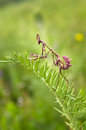 Praying Mantis - Empusa pennata Royalty Free Stock Photo