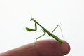 Praying mantis on finger Stock Photos