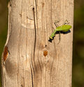 A Praying mantis and a fly Royalty Free Stock Photo