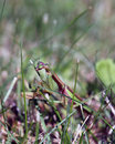 Praying mantis hiding in the grass Royalty Free Stock Photography