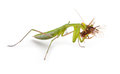 Praying mantis hunting an insect Royalty Free Stock Image