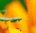 Praying mantis insect flower in the garden Royalty Free Stock Image