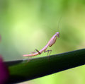 Praying mantis insect flower in the garden Stock Photos