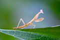 Praying mantis insect flower in the garden Royalty Free Stock Photography