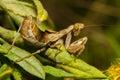 Praying mantis on leaf Royalty Free Stock Photo