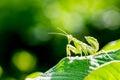 Praying mantis mantis religiosa on green leaf a Stock Photos