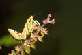 The praying mantis a predatory insect, fearsome with its raptorial fore legs and a proficient hunter / Mantis / Eating their