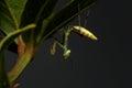 Praying Mantis - religiosa Royalty Free Stock Photo