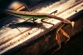 Praying mantis on tracks a a railroad track Royalty Free Stock Photos