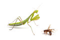 Praying mantis on white background Stock Photo