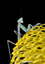 Praying mantis on yellow flower Stock Image