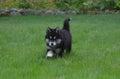 Precious Alusky Puppy Dog Trotting Through Grass Royalty Free Stock Photo