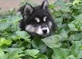 Precious Fluffy Alusky Puppy Dog in Green Foliage Royalty Free Stock Photo
