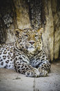Predator beautiful and powerful leopard resting in the sun wildlife Royalty Free Stock Photography