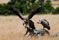 Predator birds are sitting on the ground. Kenya. Tanzania. Royalty Free Stock Photo