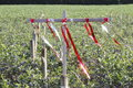 Predator deterent strips of shiny alloy are used to scare off predatory birds who scavenge the berry fields Stock Photo
