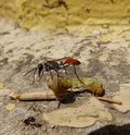 Predator insect and prey Royalty Free Stock Photo