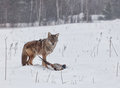 Predator prey coyote catches ring necked pheasant freezing rain mist create soft mournful winter scene Stock Photo
