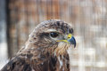 Predator with wings hawk in a hungarian bird park bird photography Royalty Free Stock Images