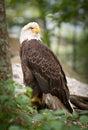 Predatore calvo americano di Eage della fauna selvatica di LBird Fotografia Stock