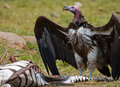 Predatory bird is eating the prey in the savannah. Kenya. Tanzania. Royalty Free Stock Photo