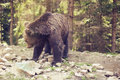 Predatory brown grizzly bear in the wild world Royalty Free Stock Photo