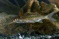Predatory fish asp Royalty Free Stock Photo