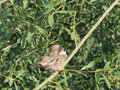 Preen house sparrow on a branch of a willow female passer domesticus salix fragilis crack or brittle Stock Photography