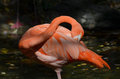 Preening American Flamingo Royalty Free Stock Photo