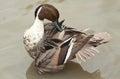 Preening duck Royalty Free Stock Photo