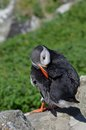 Preening Puffin. Stock Photography