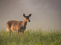 Pregnant doe Royalty Free Stock Photo