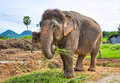 Pregnant elephant Stock Photography