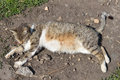 Pregnant gray striped cat lying and resting in yard at the sun Royalty Free Stock Photo