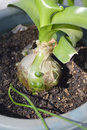 Pregnant onions sea onion false sea onion albuca bracteata house plant Stock Photos