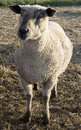 Pregnant sheep Stock Images