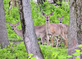 Pregnant Whitetail Deer Does Royalty Free Stock Photo