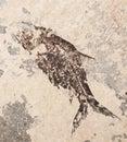 Prehistoric fish imprint beautiful on the stone in closeup Royalty Free Stock Photos