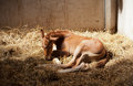 Prematurely born foal Royalty Free Stock Image