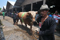 Preparation for eid al adha in indonesia a breeders bring his cattle to sell during ied solo every year muslims take part Royalty Free Stock Images