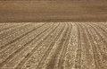 Prepared Field planted with corn after the harvest. Royalty Free Stock Photo